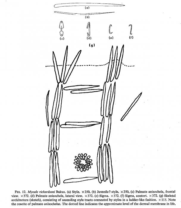 Mycale richardsoni Bakus, 1966