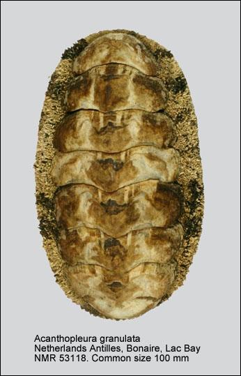 Acanthopleura granulata