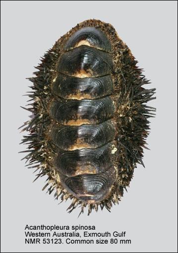 Acanthopleura spinosa