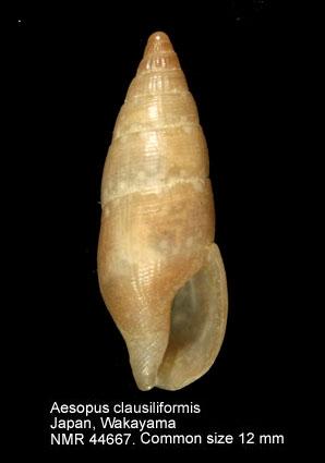 Aesopus clausiliformis