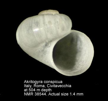 Akritogyra conspicua