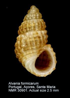Alvania formicarum