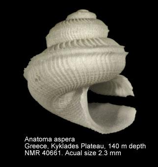 Anatoma aspera