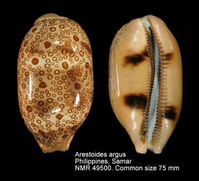 Arestorides argus