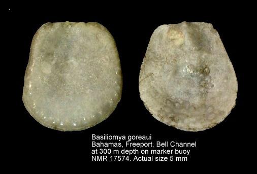 Basiliomya goreaui