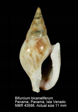 Bifurcium bicanaliferum