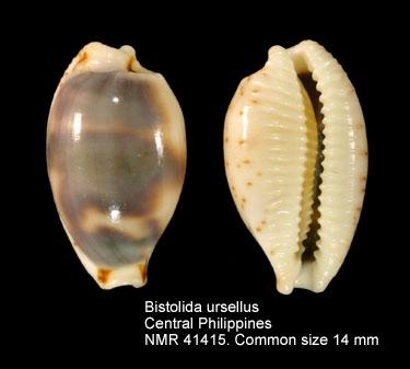 Bistolida ursellus
