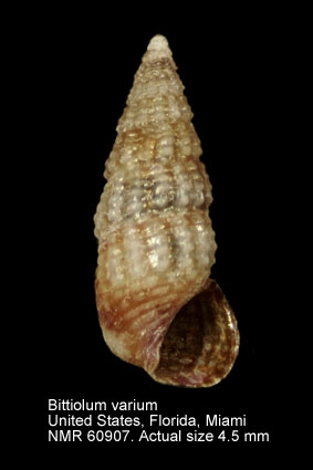 Bittiolum varium