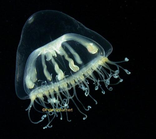 Melicertum octocostatum