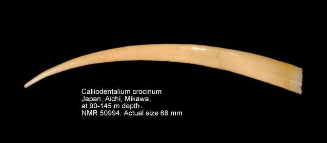 Calliodentalium crocinum