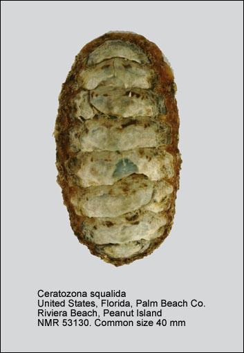 Ceratozona squalida