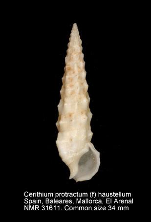 Cerithium protractum