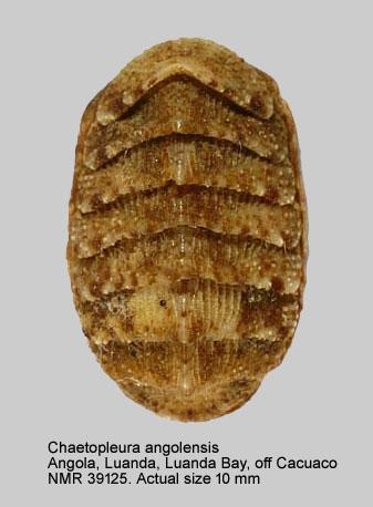 Chaetopleura (Chaetopleura) angolensis