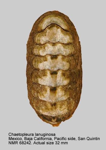 Chaetopleura (Pallochiton) lanuginosa