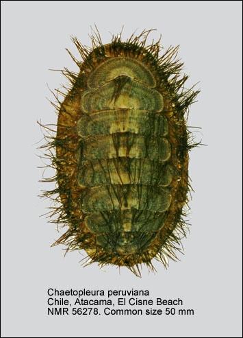 Chaetopleura (Chaetopleura) peruviana