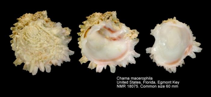 Chama macerophylla