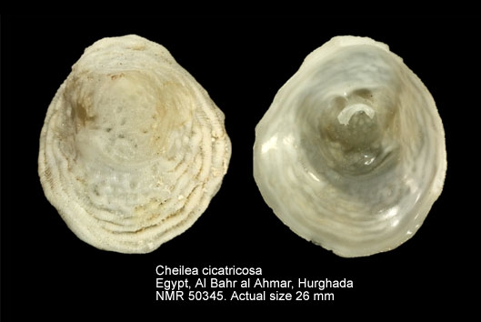 Cheilea cicatricosa
