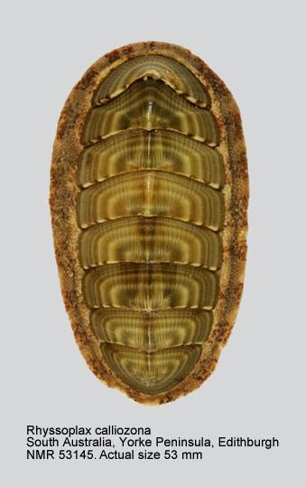 Chiton (Rhyssoplax) calliozonus