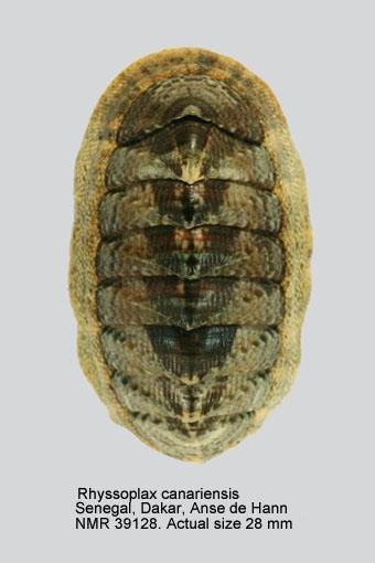 Chiton (Rhyssoplax) canariensis