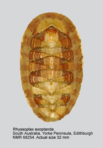 Chiton (Rhyssoplax) exoptandus