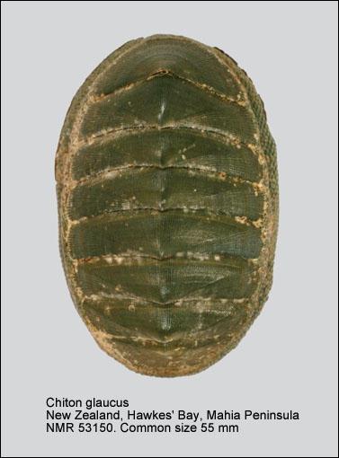 Chiton (Chiton) glaucus
