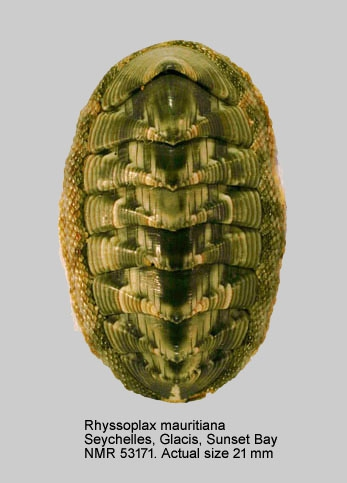 Chiton mauritianus