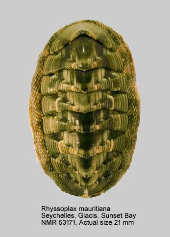 Chiton (Rhyssoplax) mauritianus