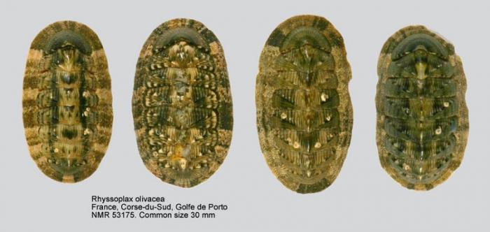 Chiton (Rhyssoplax) olivaceus