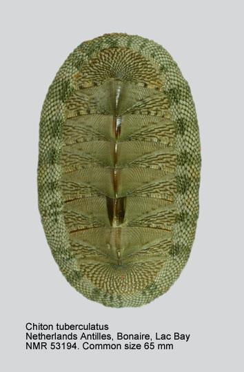 Chiton (Chiton) squamosus