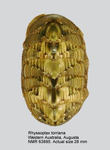 Chiton torrianus