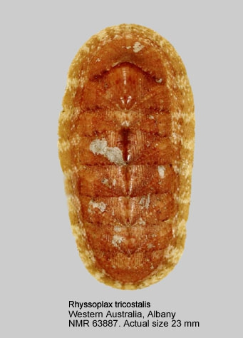 Chiton tricostalis