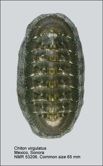 Chiton (Chiton) virgulatus