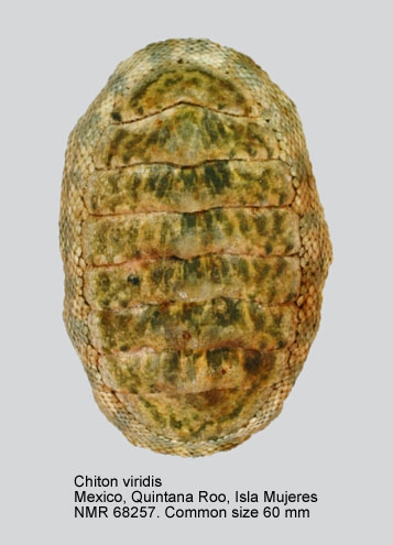 Chiton (Chiton) viridis