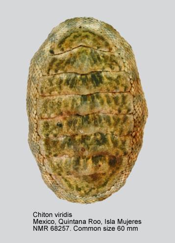 Chiton viridis