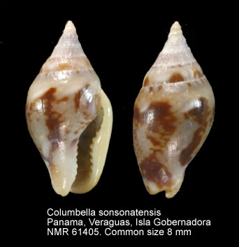 Columbella sonsonatensis