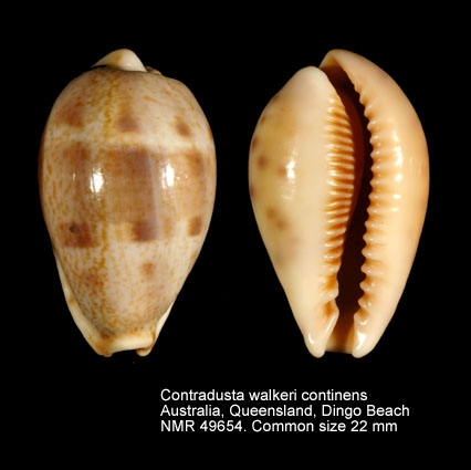 Contradusta walkeri