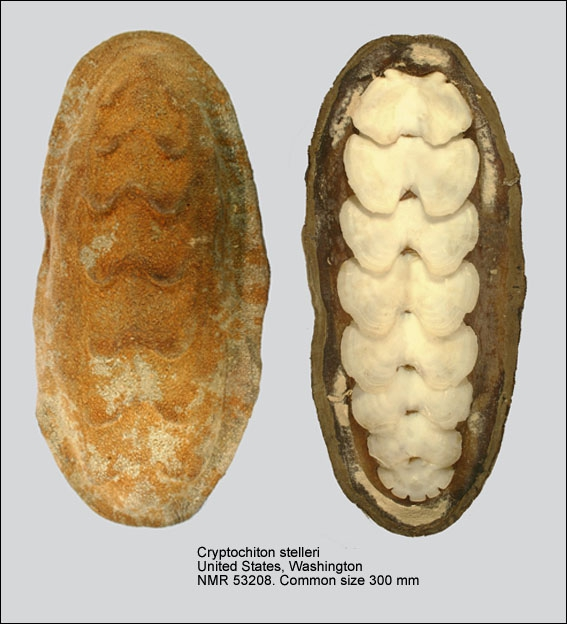 Cryptochiton stelleri
