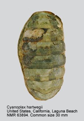 Cyanoplax hartwegii