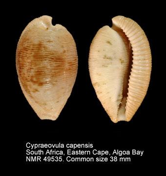 Cypraeovula capensis