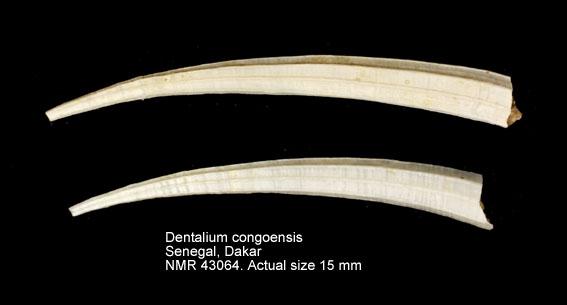 Dentalium congoensis