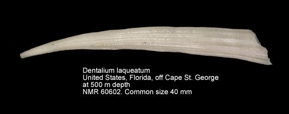 Dentalium laqueatum