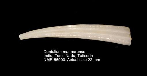 Dentalium mannarense
