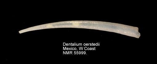 Dentalium oerstedii