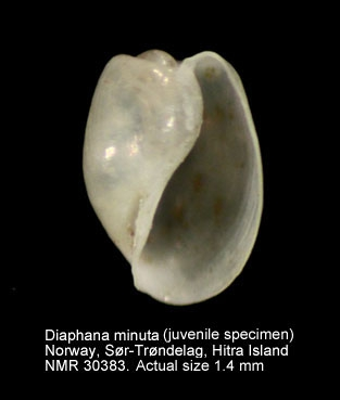 Diaphana minuta