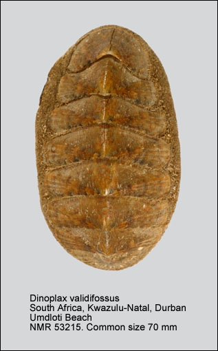 Dinoplax validifossus
