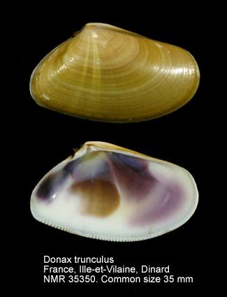Donax trunculus