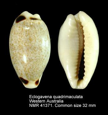 Eclogavena quadrimaculata