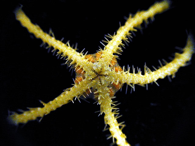Ophiacantha antarctica 1