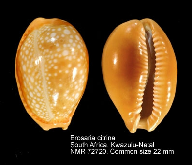 Erosaria citrina