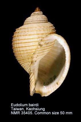 Eudolium bairdii